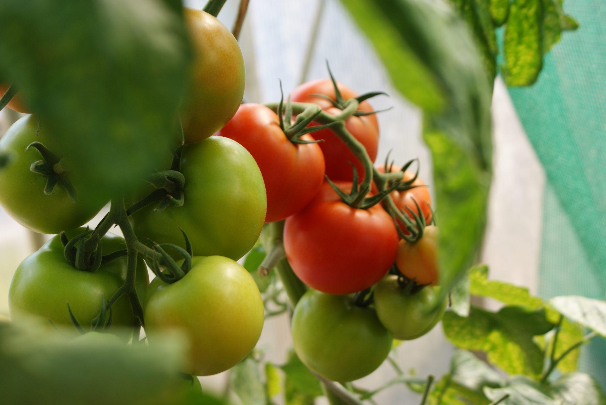 Comment faire pousser des tomates dans le jardin : le guide simple et complet